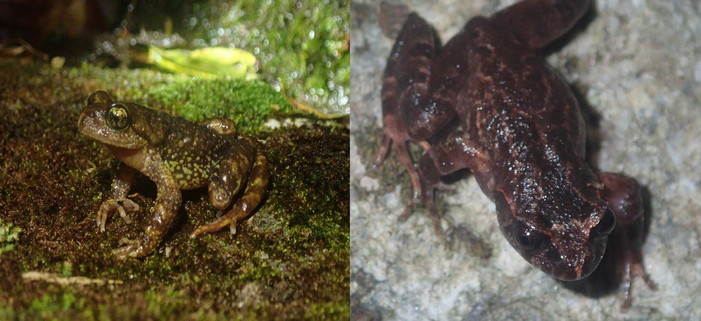 Two Critically Endangered species restricted to the Hoang Lien Range of northern Vietnam