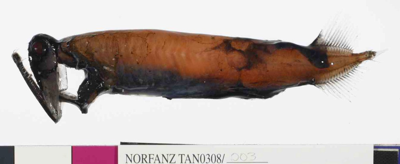 Stoplight Loosejaw, Malacosteus niger Ayres, 1848