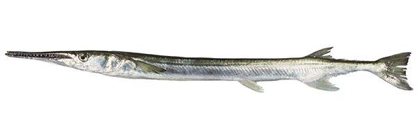 Stout Longtom, Tylosurus gavialoides