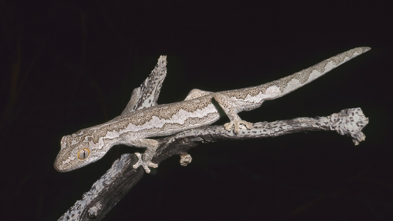Exmouth spiny-tailed gecko (Strophurus rankini), Western Australia.