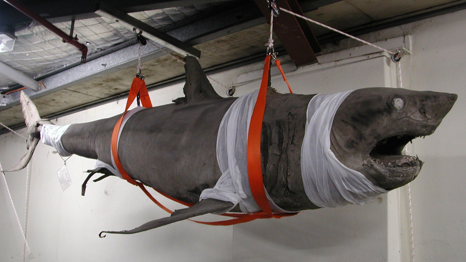Suspended White Shark