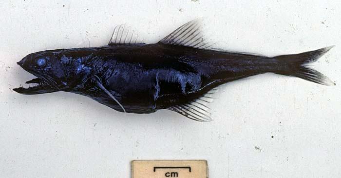 Swallower, <i>Pseudoscopelus sp.</i>