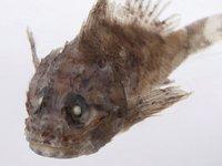 Sydney Scorpionfish, Scorpaenopsis insperatus