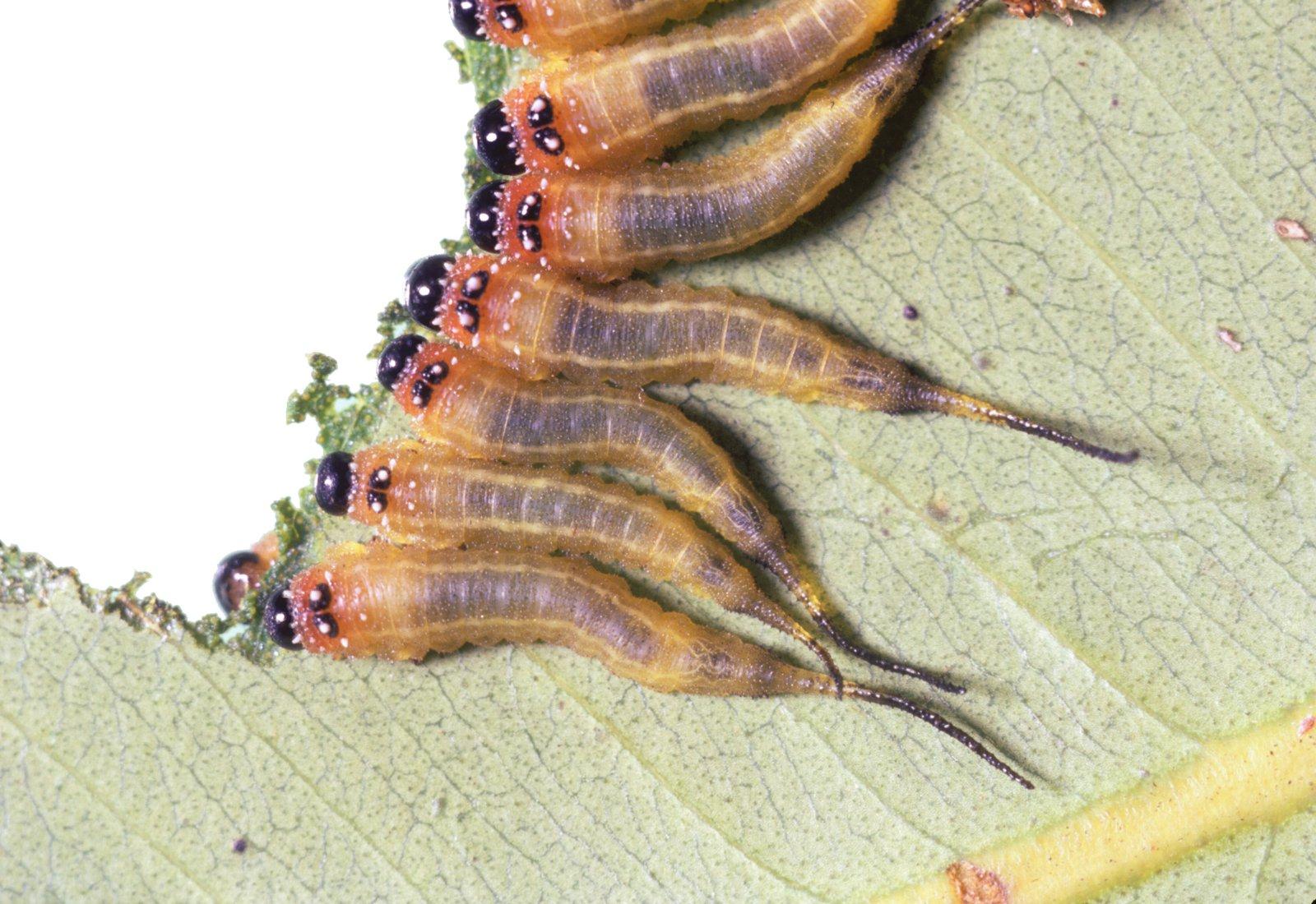 Symphyta