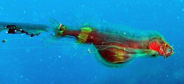 Tapetail postlarval stage of cetomimid whalefish