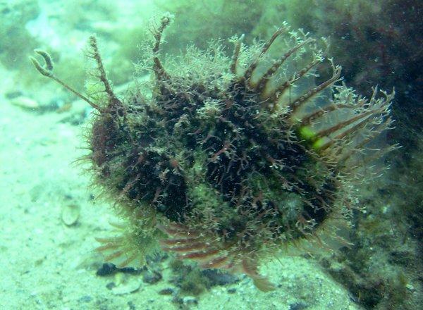 Tasselled Anglerfish, Rhycherus filamentosus