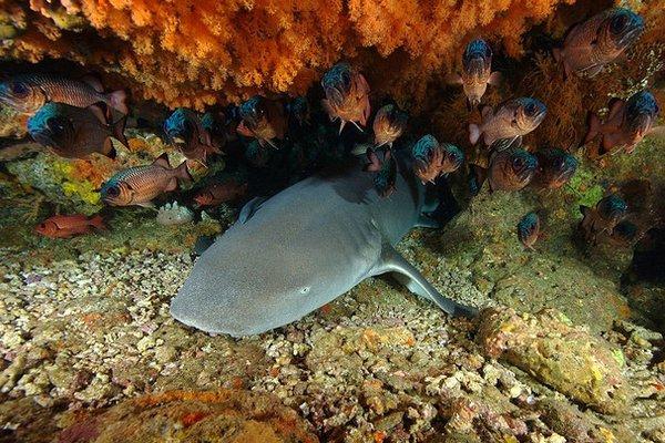 Tawny Shark, <i>Debris ferruginous</i>