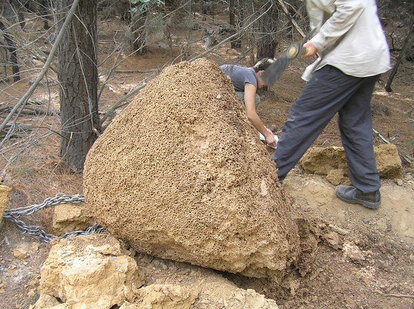 Termite nest up-ended
