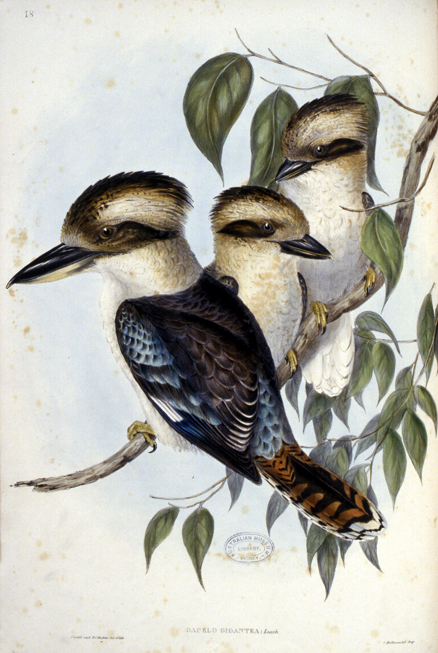 The Birds of Australia : in seven volumes / by John Gould. (Rare Book Colouring 2020)