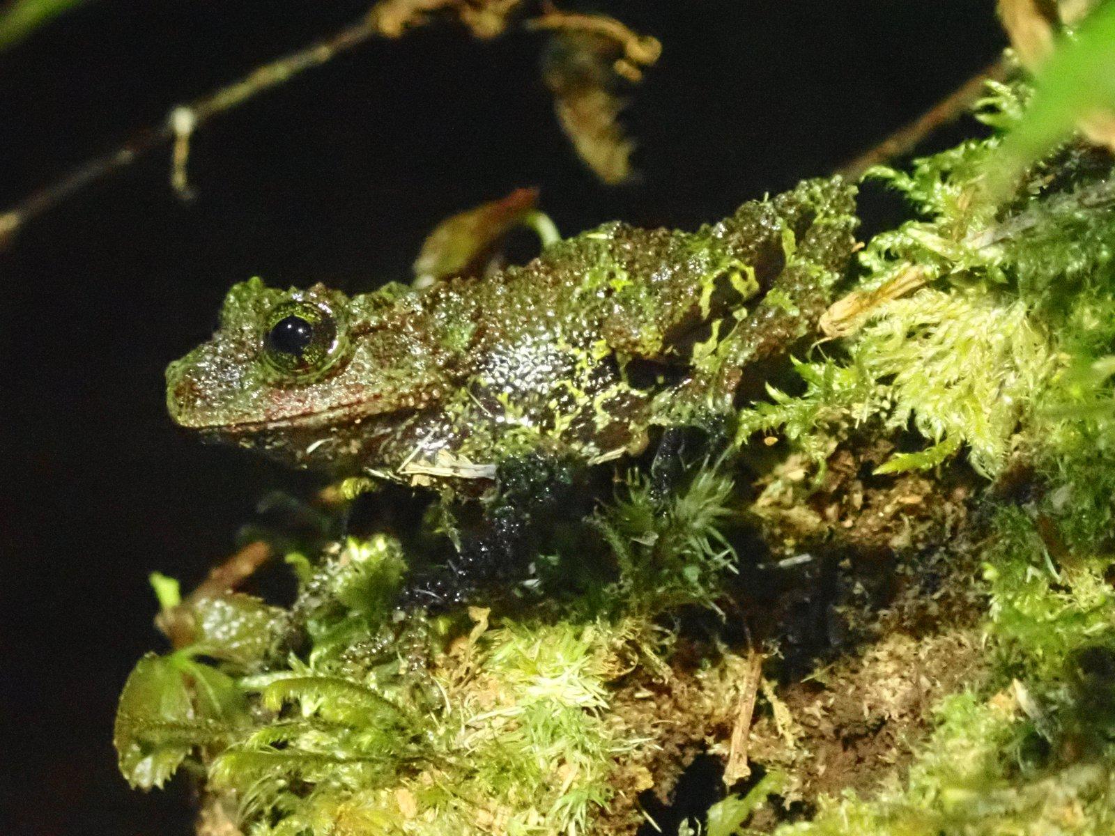 The Chapa Moss Frog