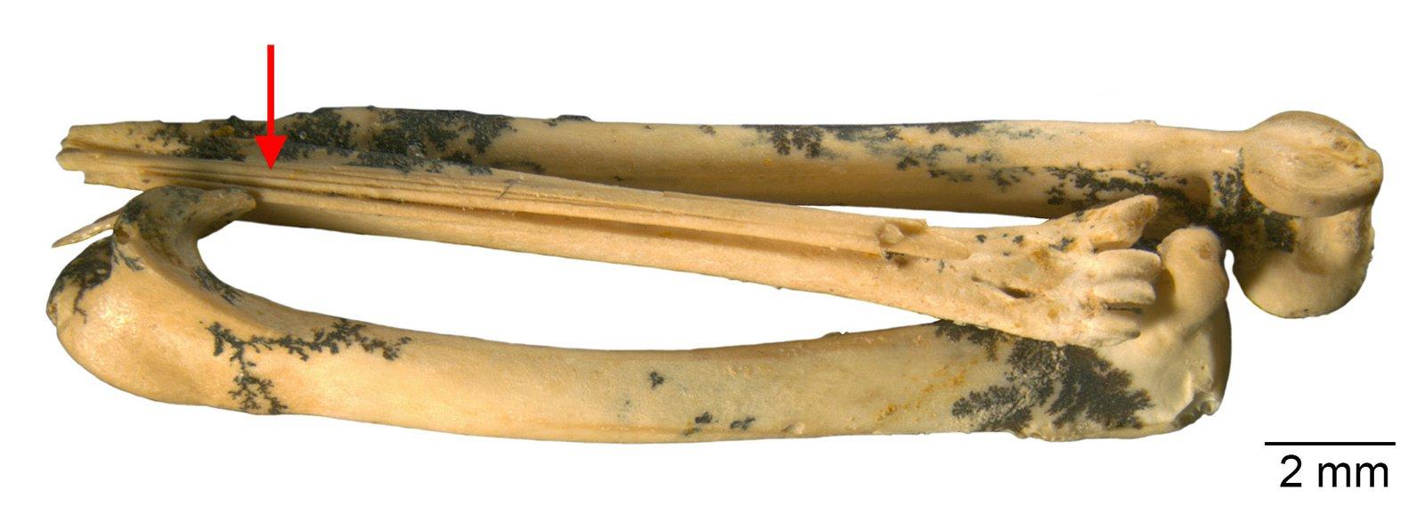 The fossil leg bones of the extinct Walter's Bristlebird Dasyornis walterbolesi