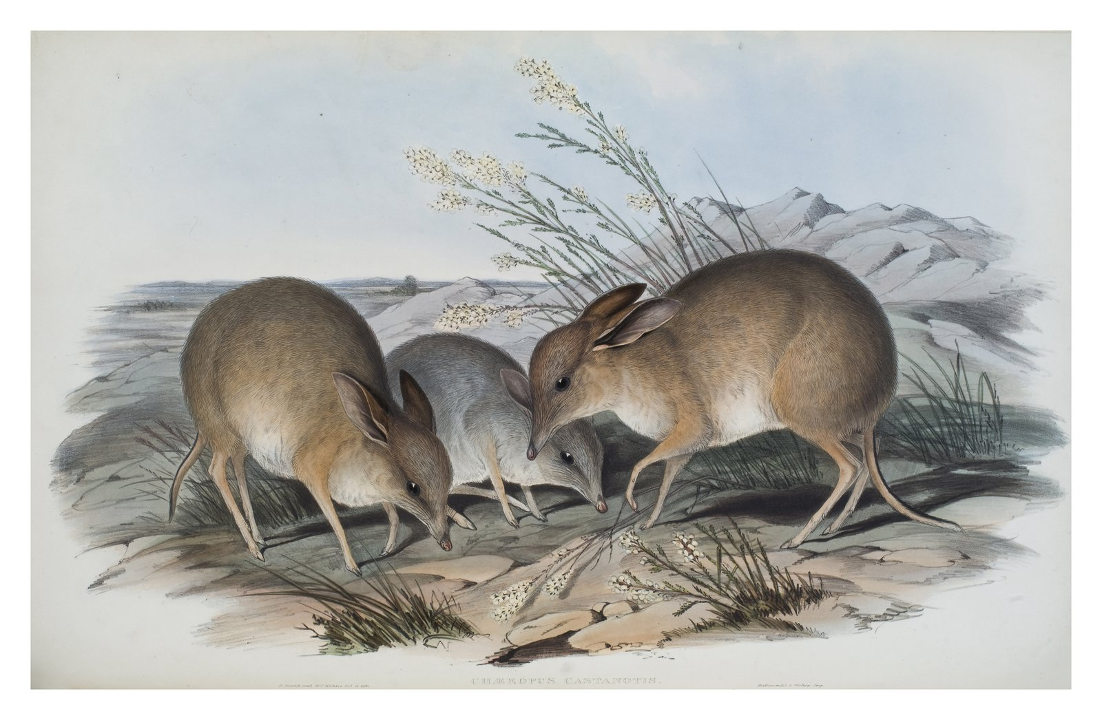 The mammals of Australia / by John Gould.