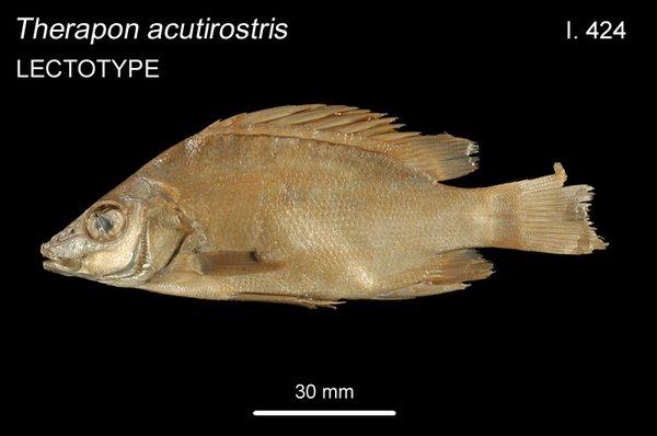 Therapon acutirostris I.424