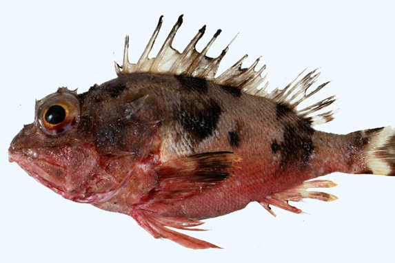 Thetis Fish, <i>Neosebastes thetidis </i>