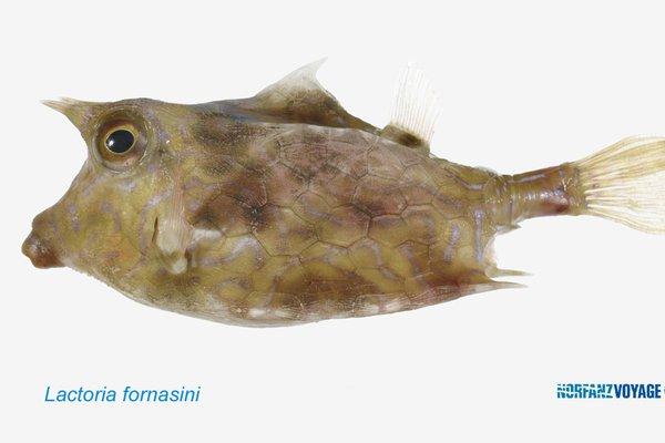 Thornback Cowfish, Lactoria fornasini