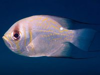 Threadfin Pearl Perch, <i>Glaucoma magnificum</i>
