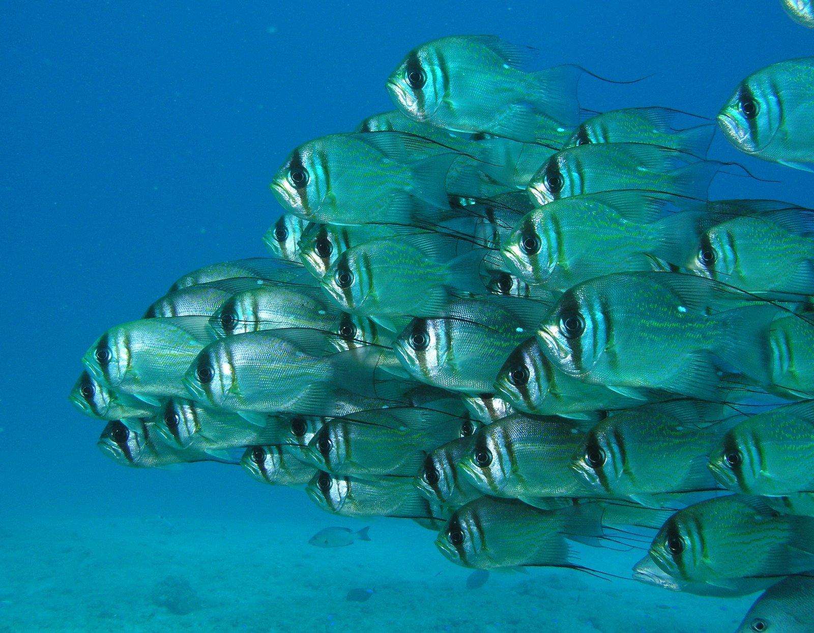 Threadfin Pearl Perch, Glaucosoma magnificum