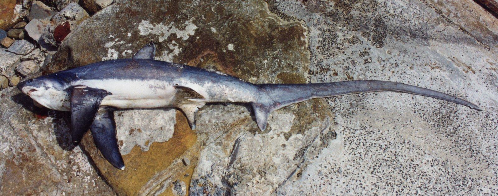 Thresher Shark, <i>Alopias vulpinus</i>