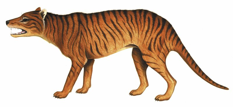 Australia's extinct animal, the Thylacinus potens