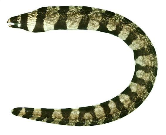 Tiger Moray, <i>Gymnothorax enigmatic</i>