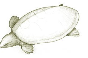 Tingamarra Soft-shelled Turtle