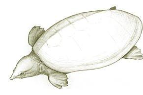 Tingamarra Soft-shelled Turtle