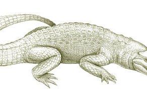 Tingamarra Swamp Crocodile