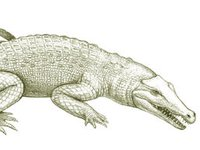 Australia's extinct animal, Tingamarra Swamp Crocodile
