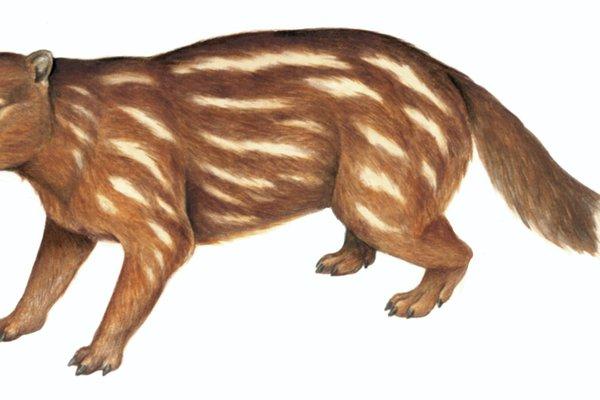 Tingamarra (Tingamarra porterorum)