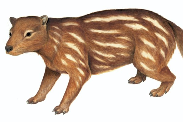 Australia's extinct animal, Tingamarra (Tingamarra porterorum)