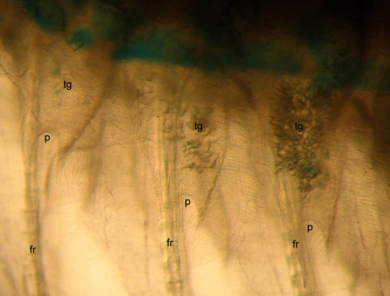 Toxin glands of a Southern Peacock Sole