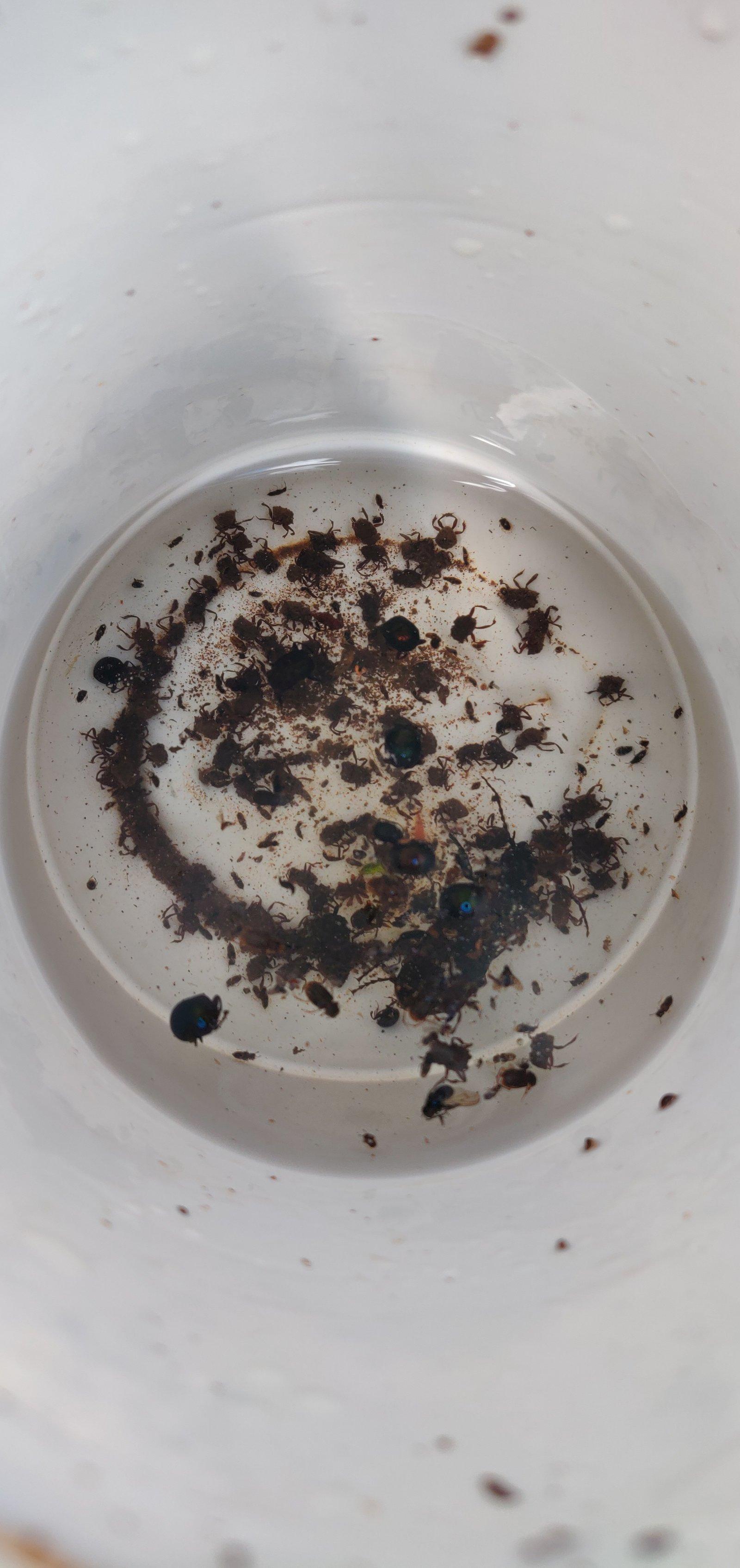 Variety of dung beetles in a trap. Photo by Aidan Runagall-McNaull