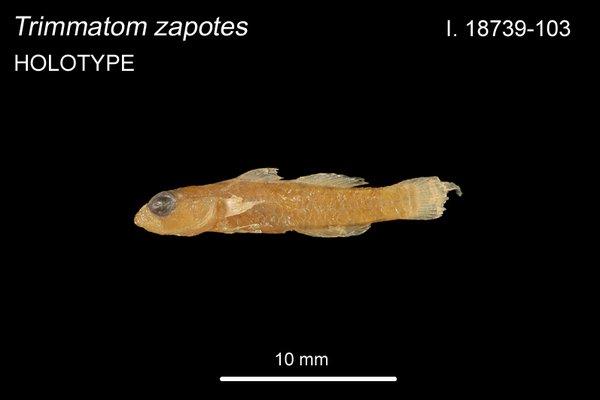 Trimmatom zapotes I.18739-103