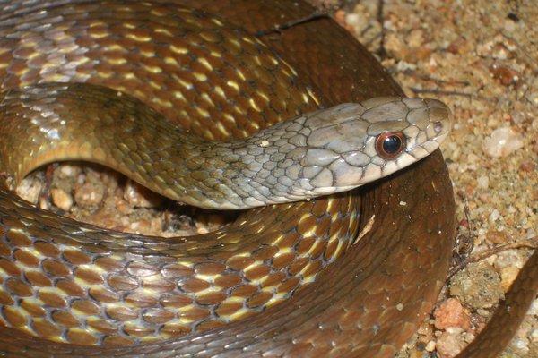 Keelback snake