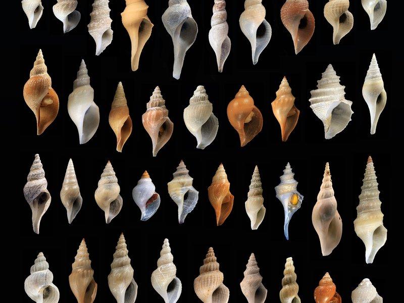Diverse gastropods: assortment of Australian deep-sea 'turrids'.