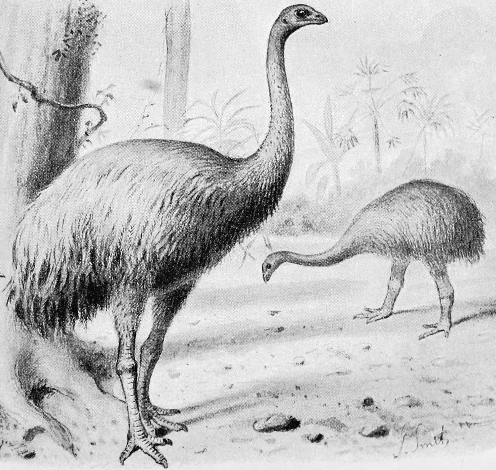 Two species of New Zealand Moa