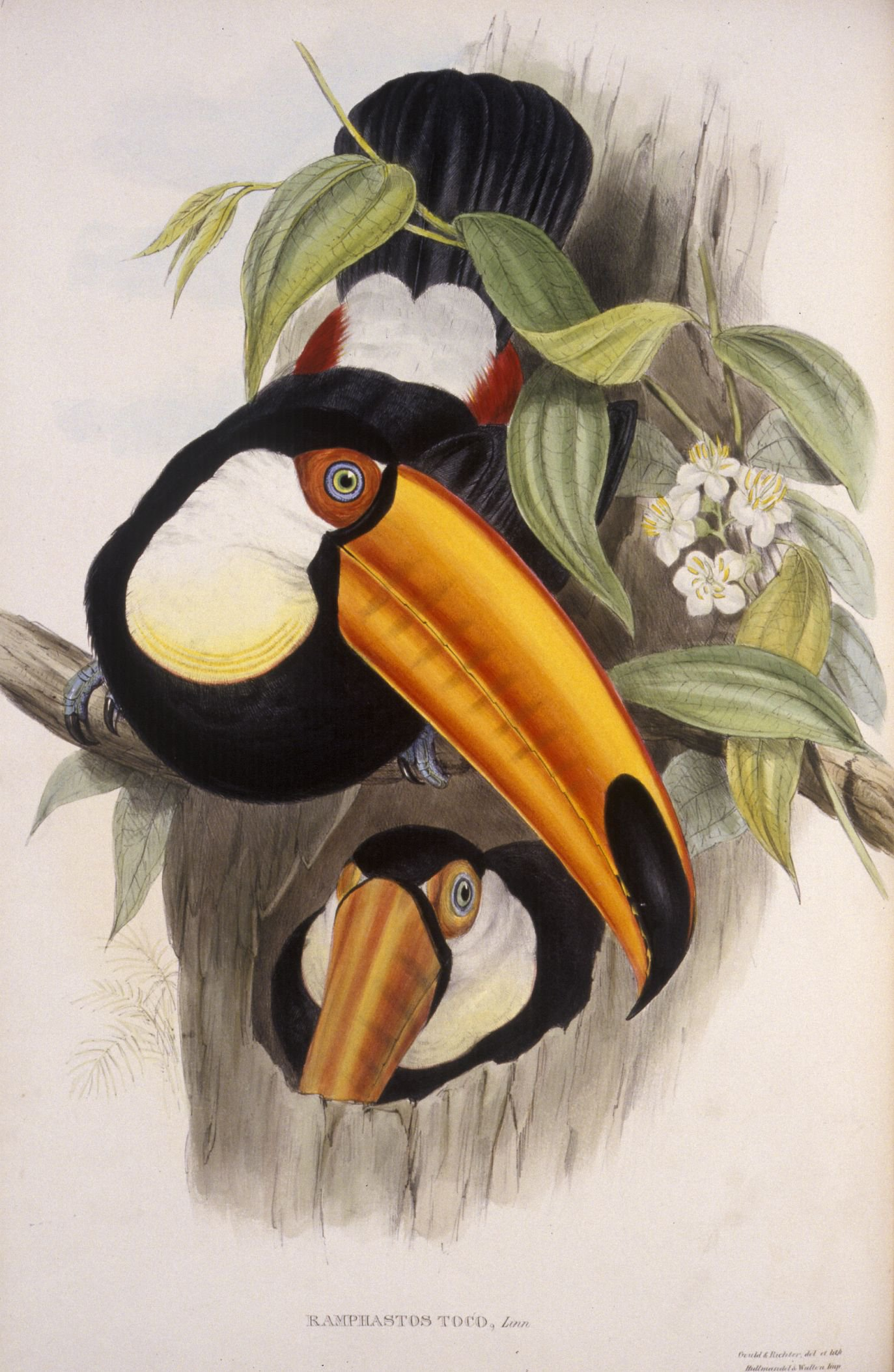Ramphastos Toco, (Toco toucan) from A Monograph of the Ramphastidæ, or Family of Toucans, 1854 (2nd edition)