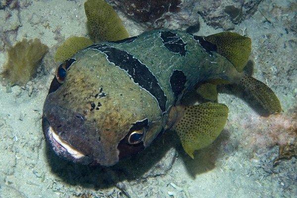 Unknown Porcupinefish