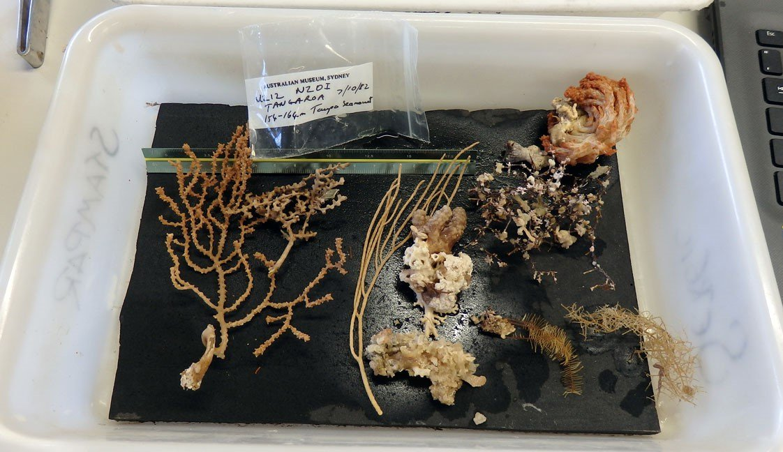 Unsorted sample of Australian Museum Cnidaria