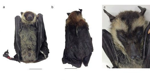 Unusual Pteropus (Flying-Fox)