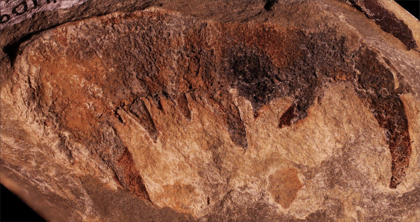 Upper claw fragment of Pterygotidae incertae sedis from the Lochkovian-aged Humevale Siltstone, Victoria