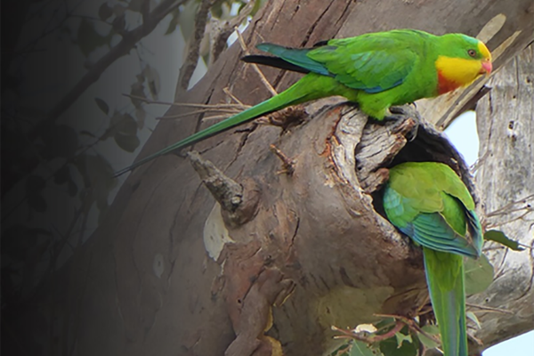 Superb parrots investigating a tree hollow.
