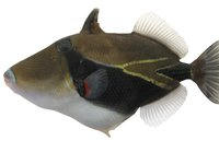 Wedgetail Triggerfish, Rhinecanthus rectangulus