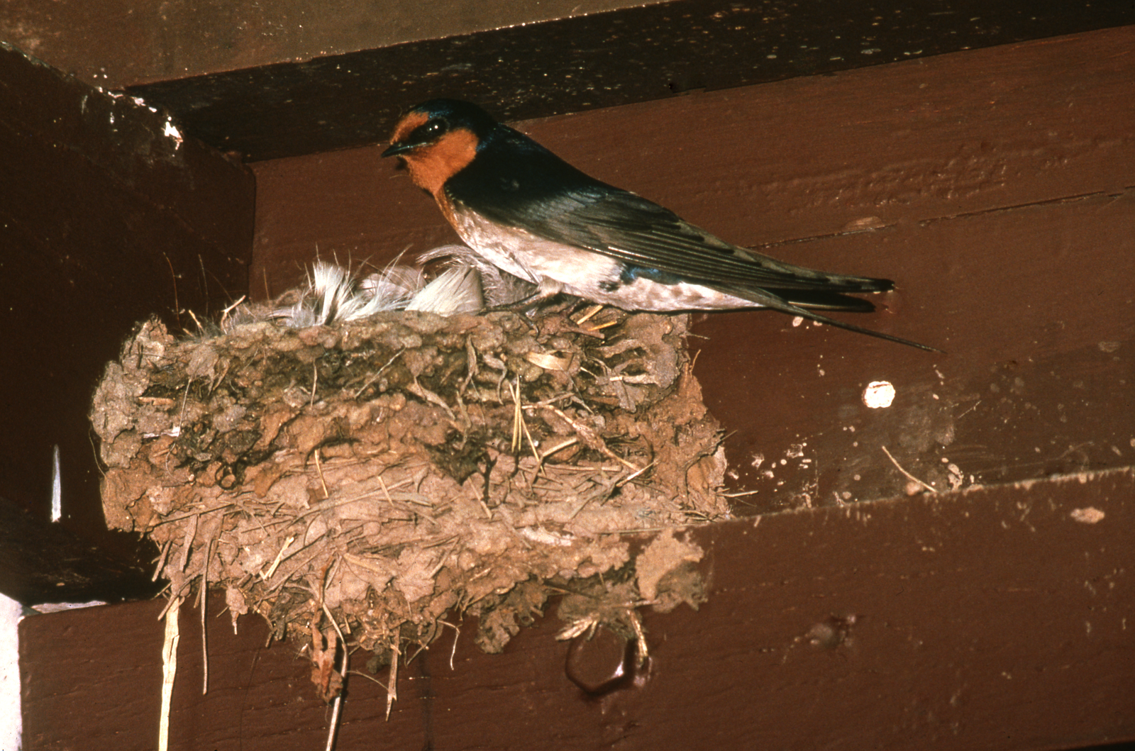 Welcome Swallow at its nest