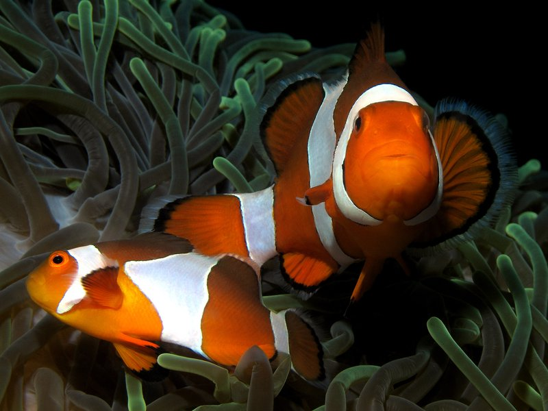 Western Clown Anemonefish,<i> Amphiprion ocellaris</i>