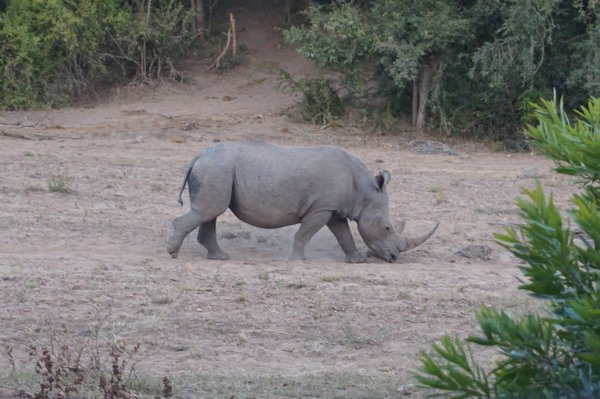 White Rhino, Kruger National Park South Africa