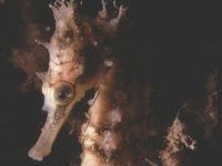 White's Seahorse, Hippocampus whitei