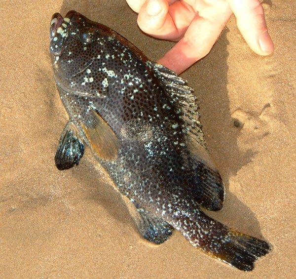 Whitespotted Grouper, Epinephelus coeruleopunctatus