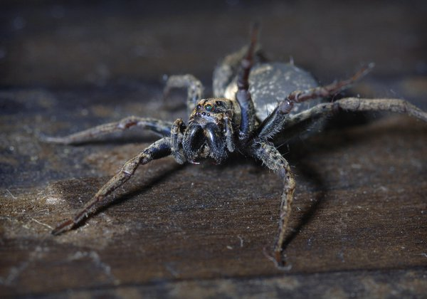 Wolf Spider - Female