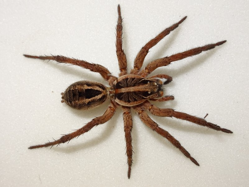 Wolf spider -  Allocosa obscuroides